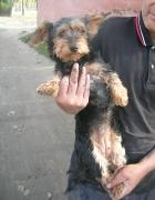 Yorkshire-Terrier-Hündin