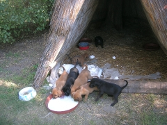 Die Welpen bekommen Milch mit trockenem Brot.