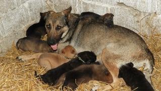 2. Fall: Schäferhund-Mama mit Welpen